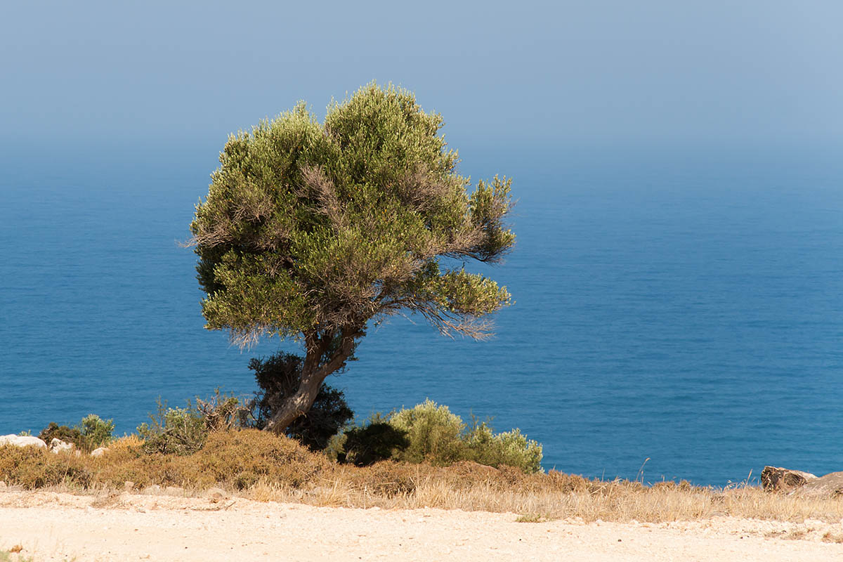 olive tree albero ulivo olive blu verde green little piccolo cipro cyprus holiday vacanze sea mare Πάφος Pafos